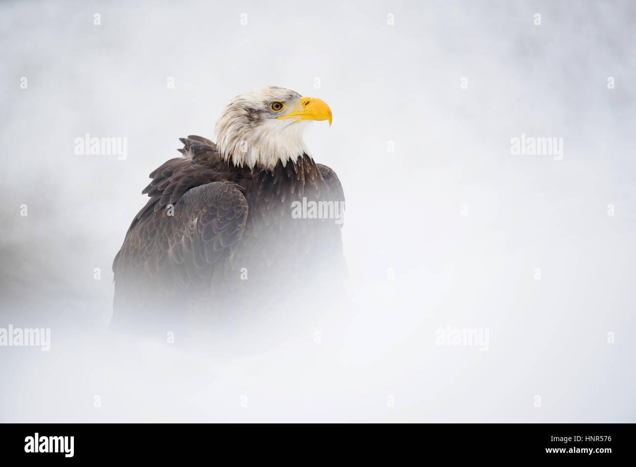 Portrait de pygargues à tête blanche en hiver avec de la neige autour de Photo Stock