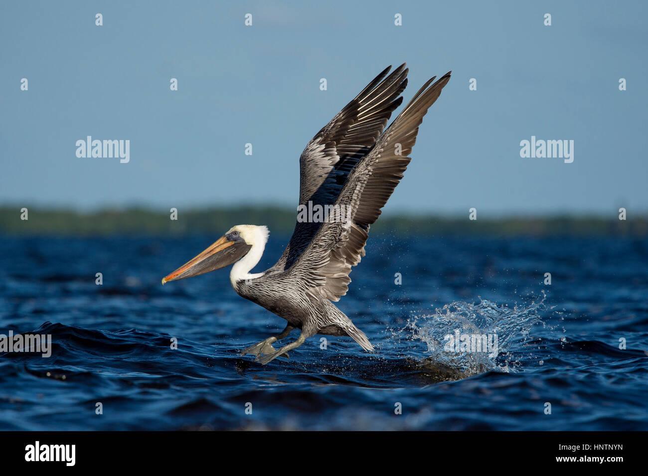 Un adulte Pélican brun décolle de l'eau avec une grande éclaboussure et ses ailes sur une journée Photo Stock
