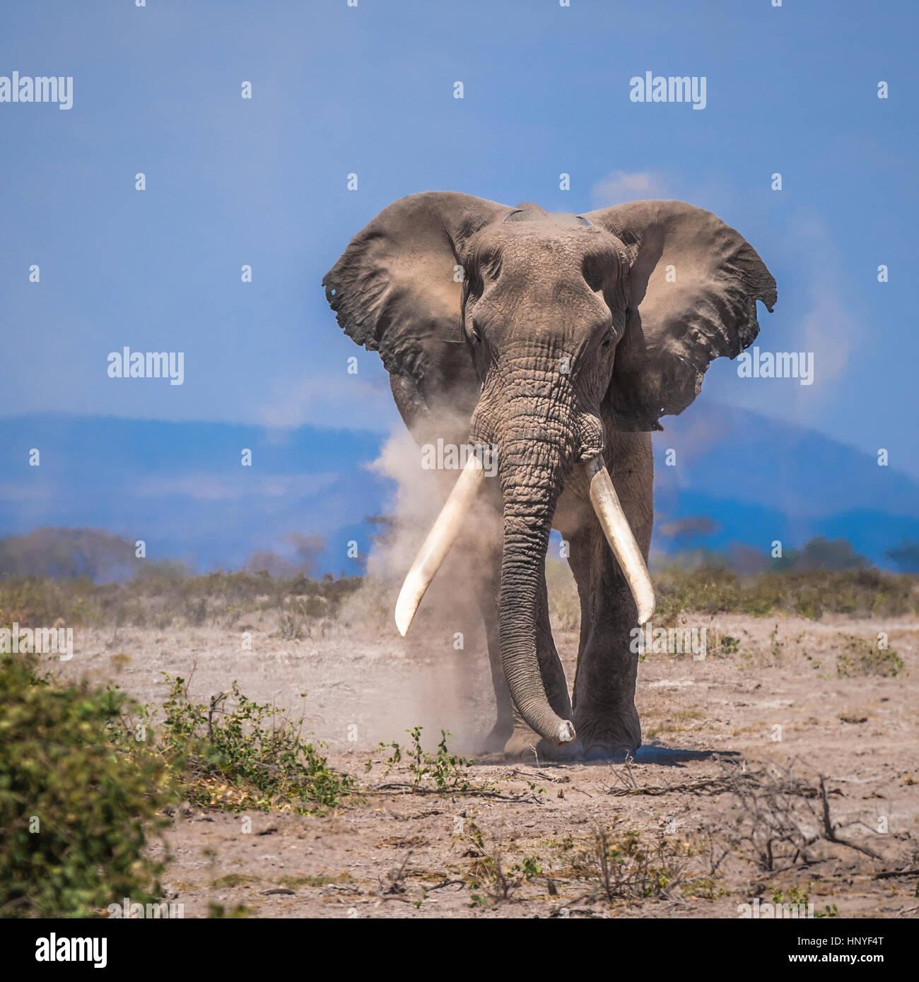 Vieux éléphant, parc national d'Amboseli, Kenya Photo Stock