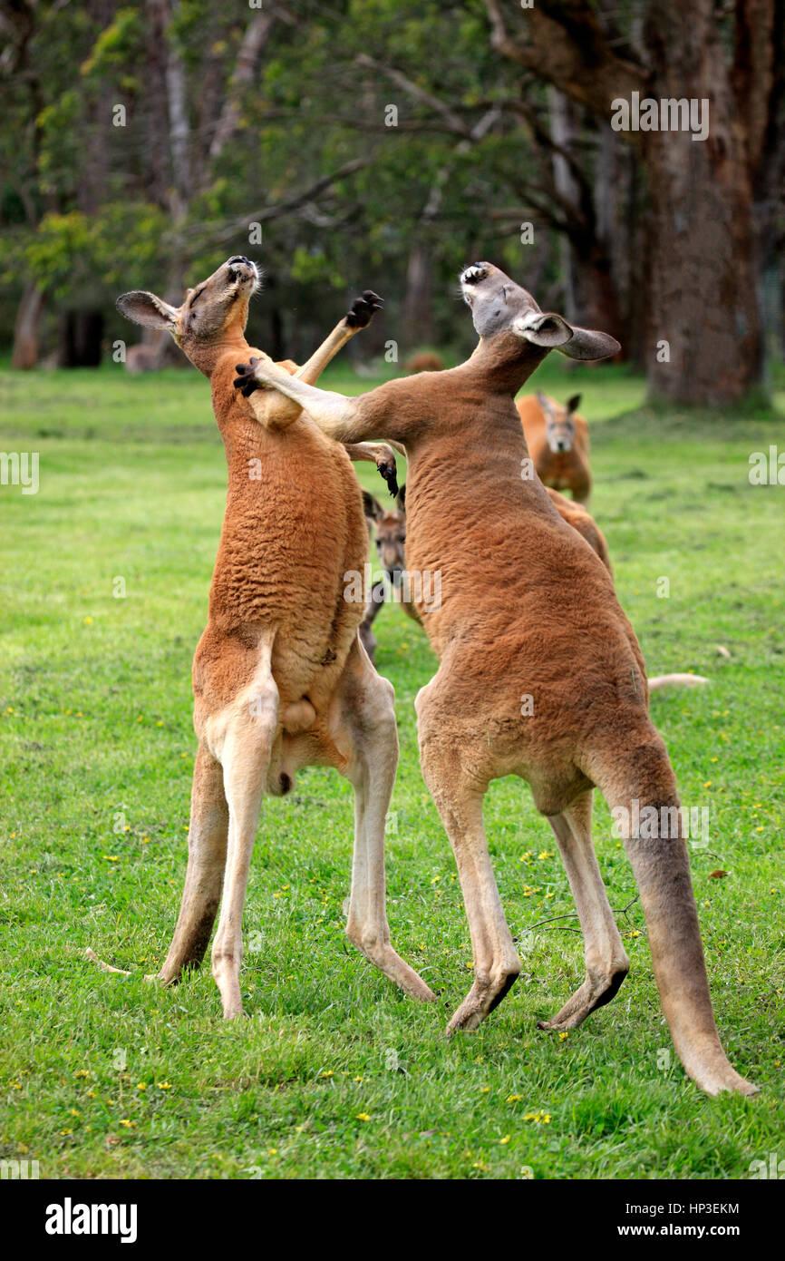 Kangourou rouge, (Macropus rufus), deux mâles adultes, lutte contre l'Australie du Sud, Australlia Photo Stock