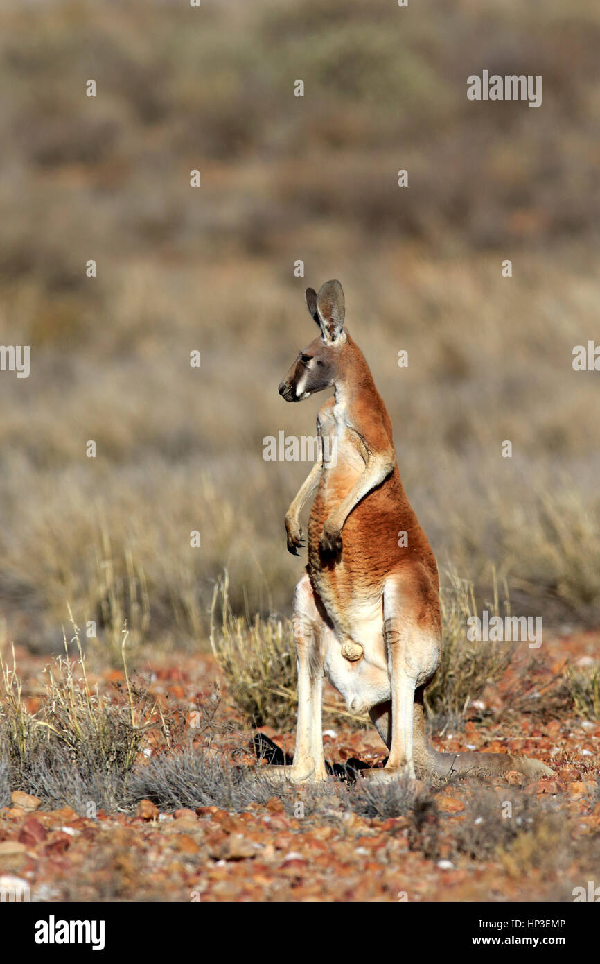 Kangourou rouge, (Macropus rufus), mâle adulte, alerte, Sturt Nationalpark, New South Wales, Australie, Nature Photo Stock