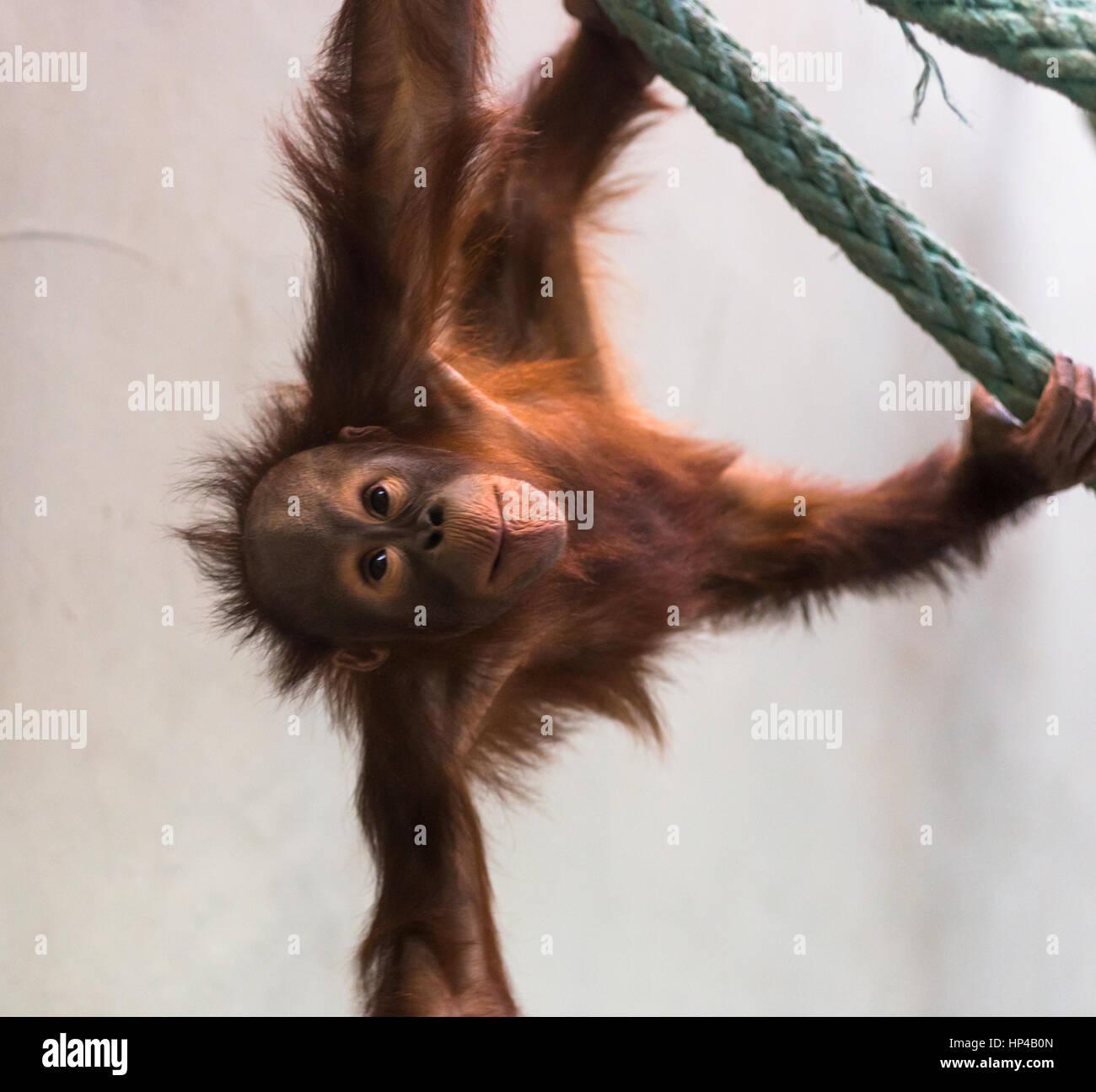 Mignon bébé orang-outan à jouer. Photo Stock