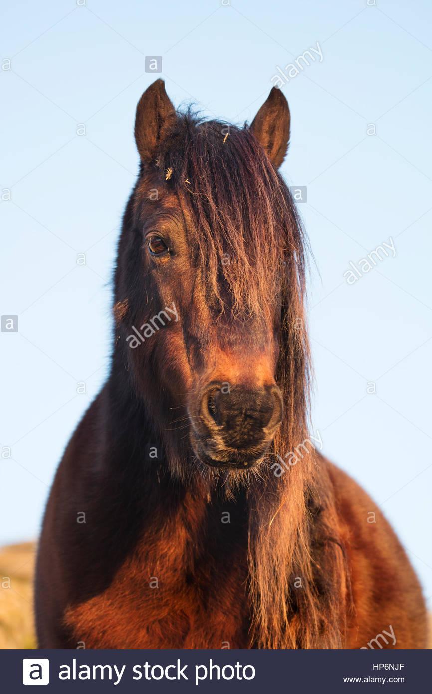 Portrait d'un poney Dartmoor Photo Stock