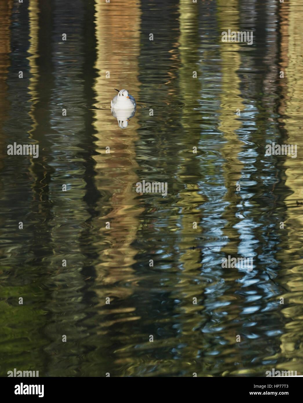 Mouette sur le plan formé par des réflexions de troncs d'arbres sur l'eau Photo Stock