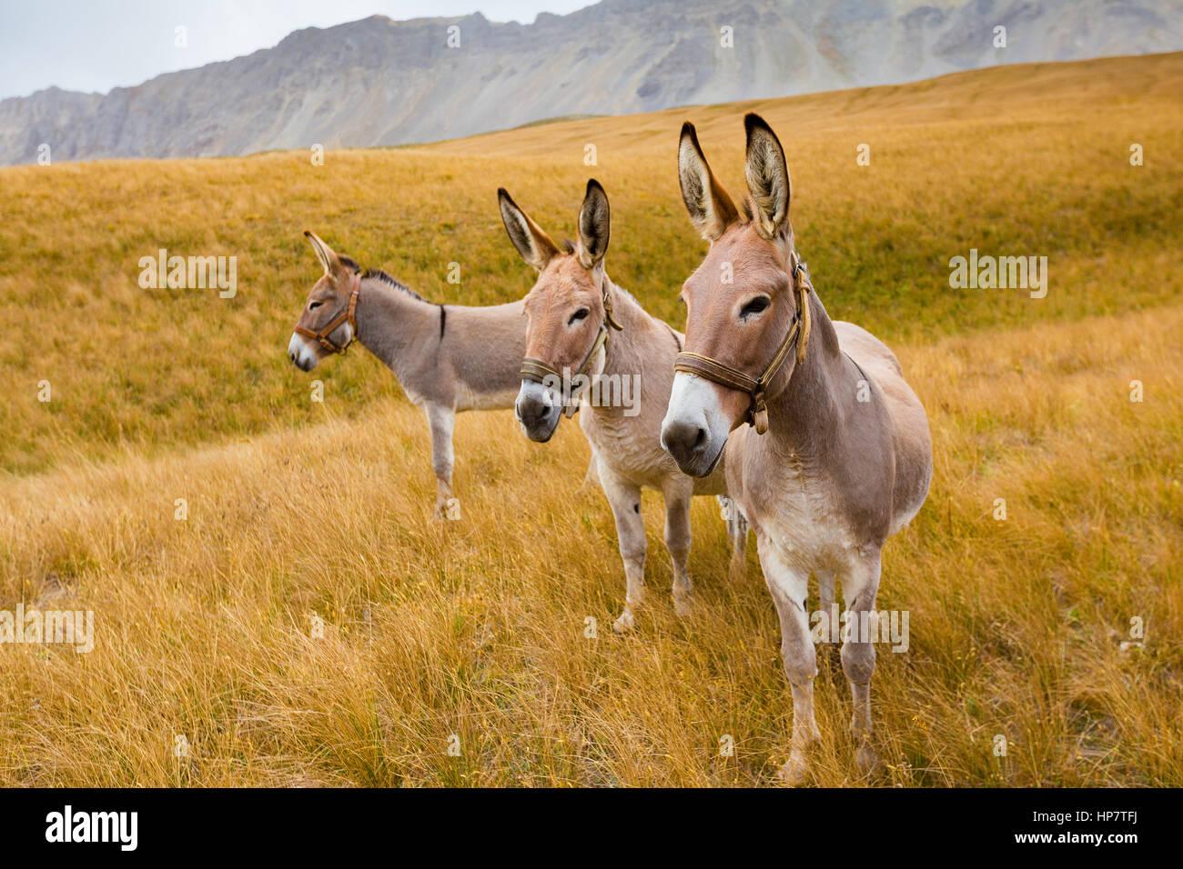 Les ânes, les prairies alpines, Col des pointe Gaspard. Vallée etroite. Photo Stock