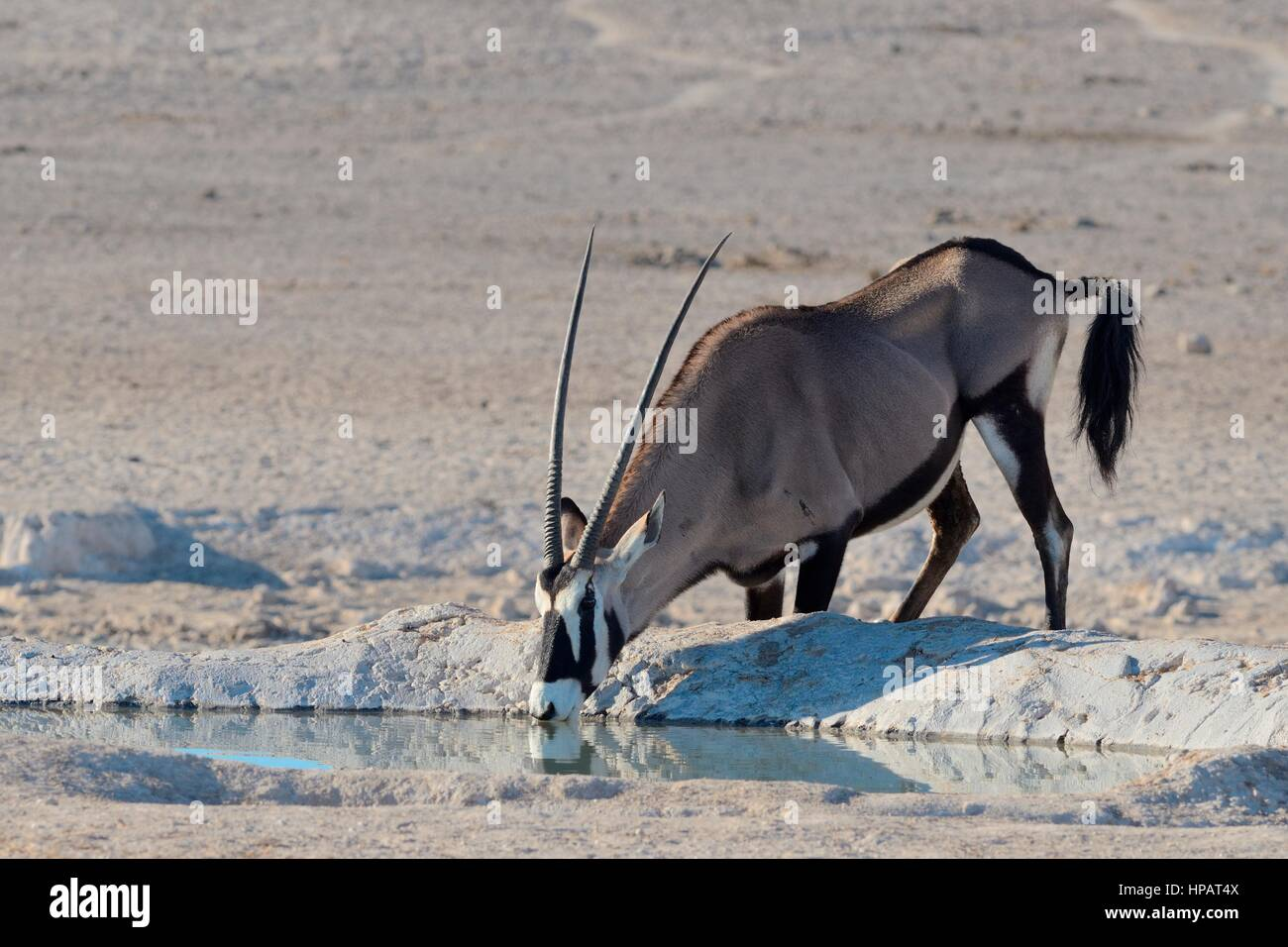 Gemsbok (Oryx gazella), boire à Waterhole, Etosha National Park, Namibie, Afrique Photo Stock