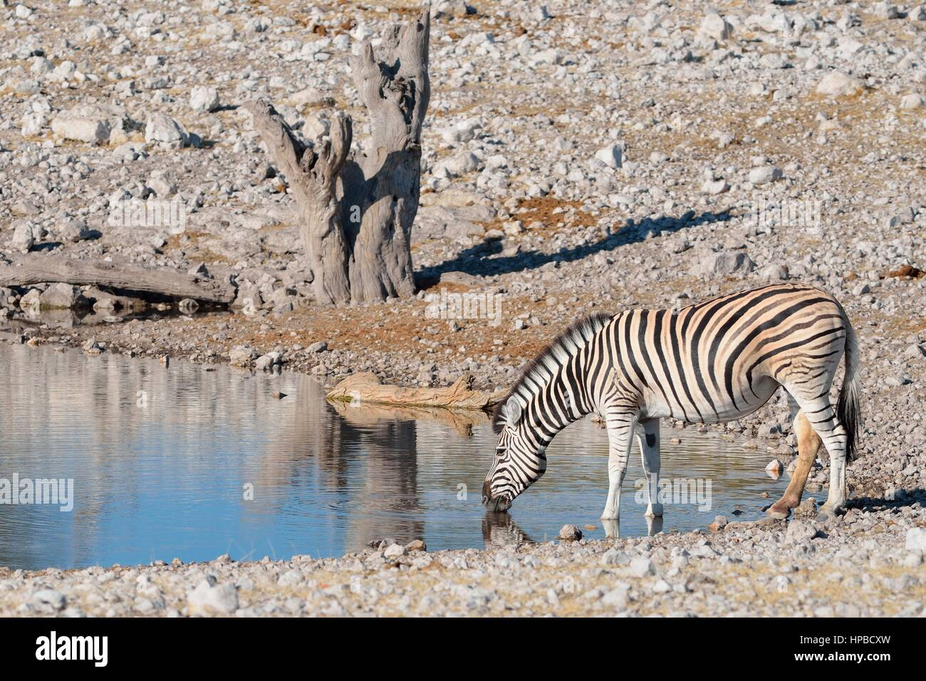Le zèbre de Burchell (Equus quagga burchellii), boire à Waterhole, Etosha National Park, Namibie, Afrique Photo Stock