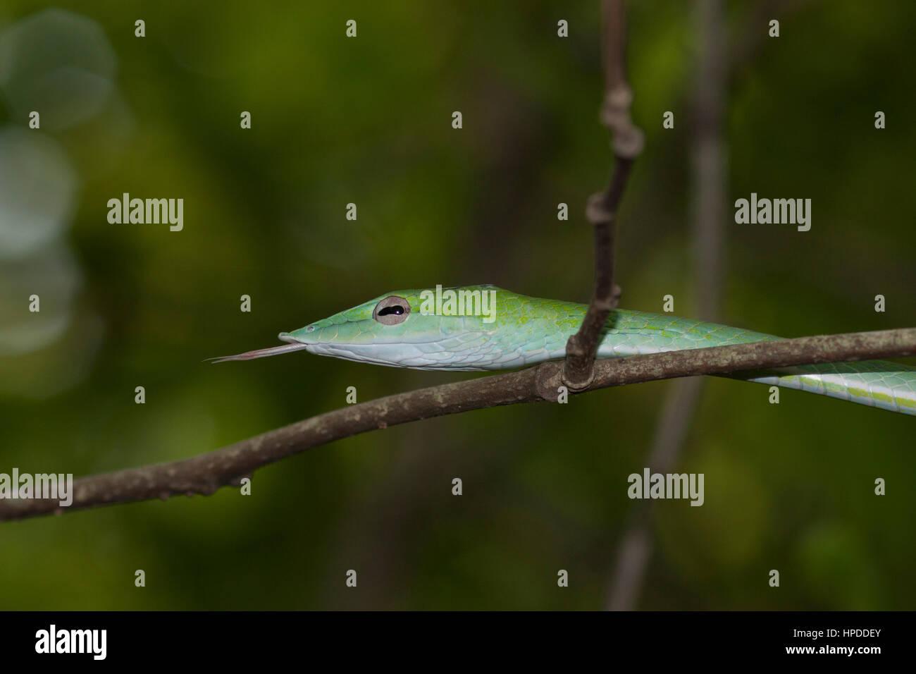 Serpent de vigne verte avec langue sur vigne dans l'habitat naturel Banque D'Images
