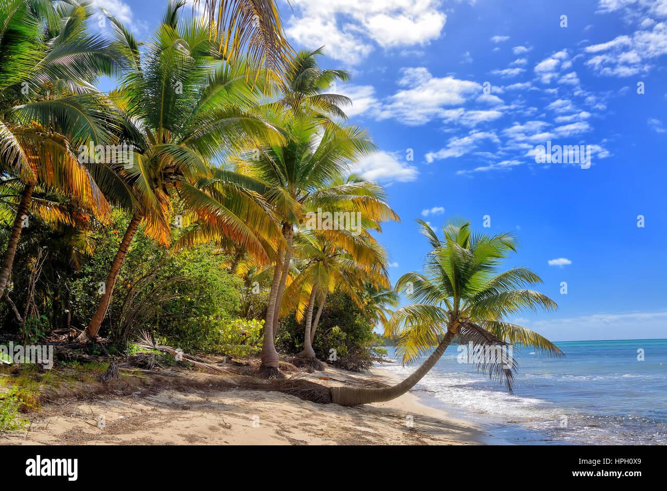 Scieries de plage de sable blanc avec des palmiers. L'île de Saona, République Dominicaine Banque D'Images