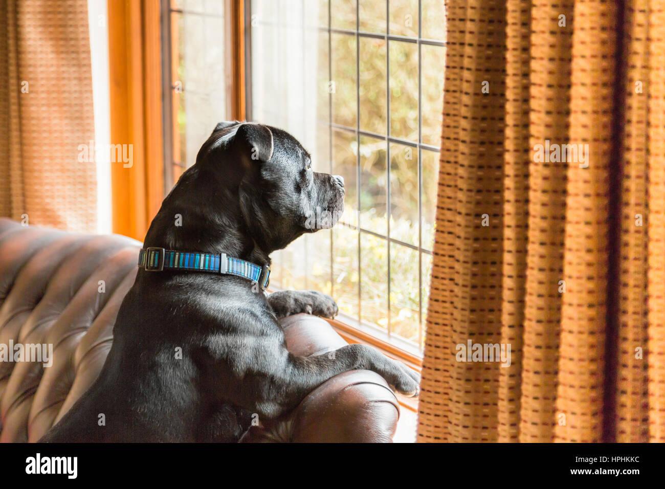 staffordshire bull terrier chien assis sur un canap en cuir dans une maison avec ses pattes sur. Black Bedroom Furniture Sets. Home Design Ideas