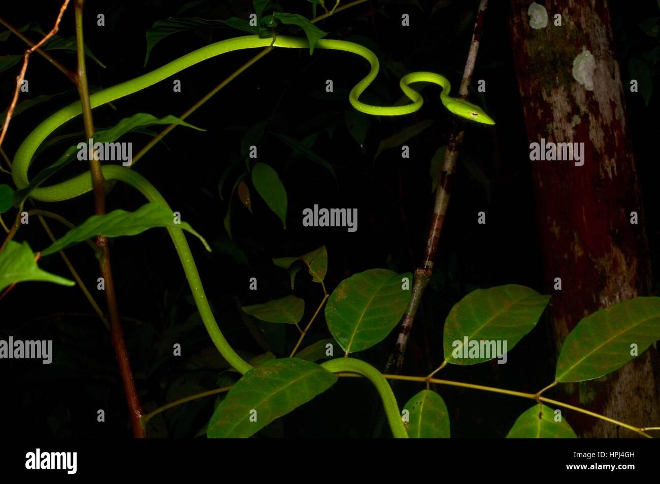 Un serpent vert vif Whip Oriental (Ahaetulla prasina) dans la forêt tropicale dans la nuit dans le Parc National Summit Pinehurst Golf & Country Club, Sarawak, l'Est de la Malaisie, Bornéo Banque D'Images