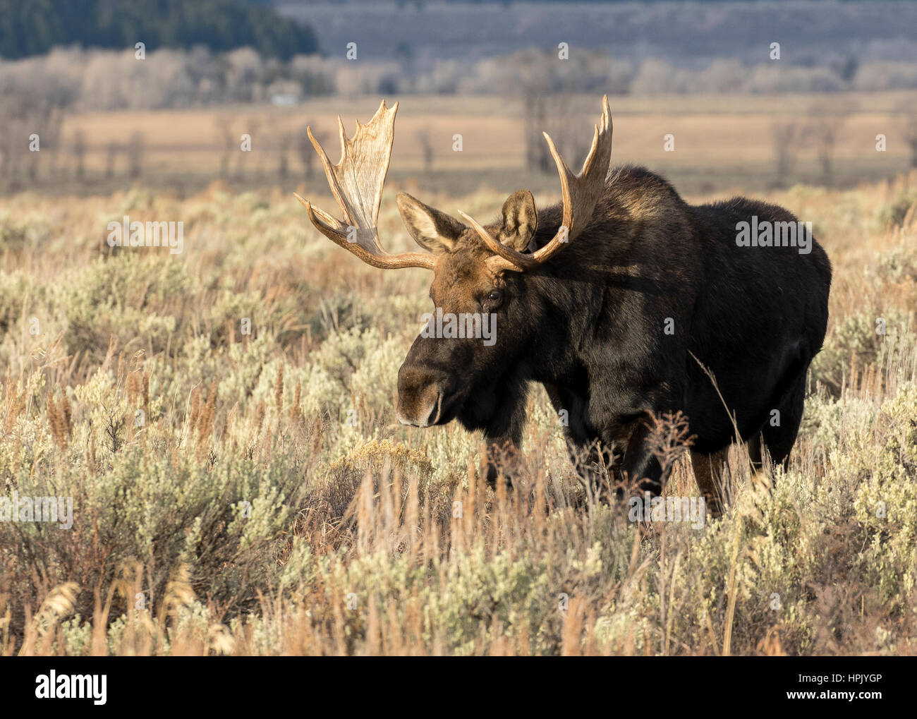 Bull Moose standing in meadow armoise en automne Banque D'Images