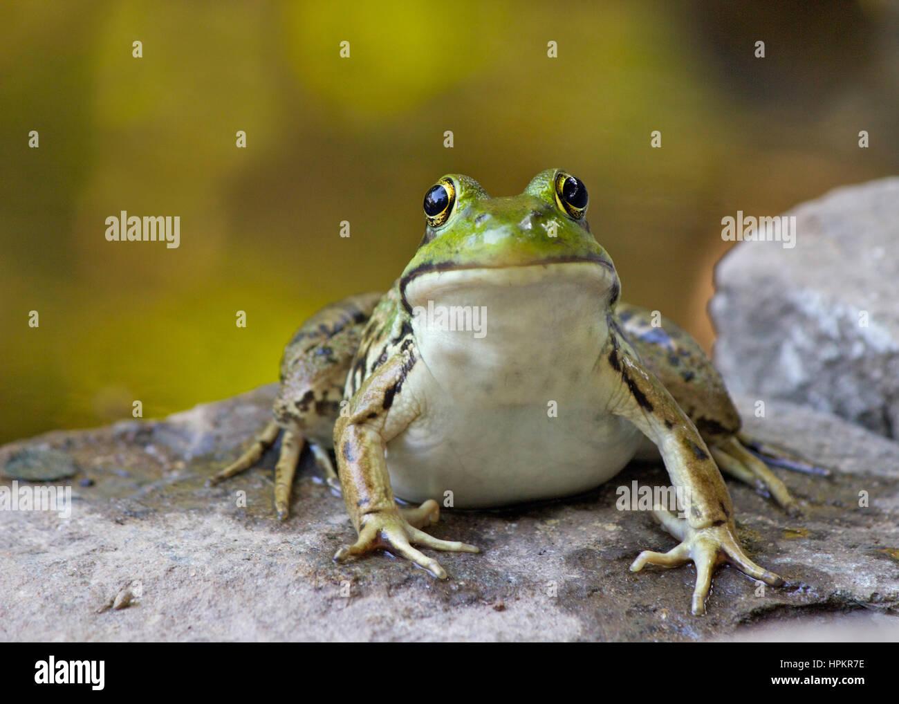 Une grenouille verte (Rana clamitans) assis par un étang Banque D'Images