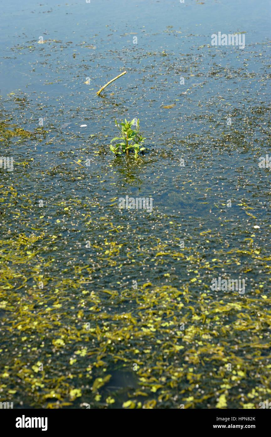 Water-Speedwell bleu, Veronica anagallis-aquatica poussant dans un étang de ferme parmi les Water-Crowfoot Photo Stock