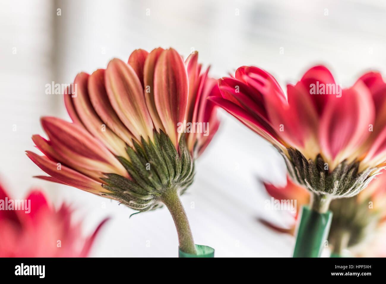 gros plan du gerbera rose bouquet de fleurs dans un vase. Black Bedroom Furniture Sets. Home Design Ideas