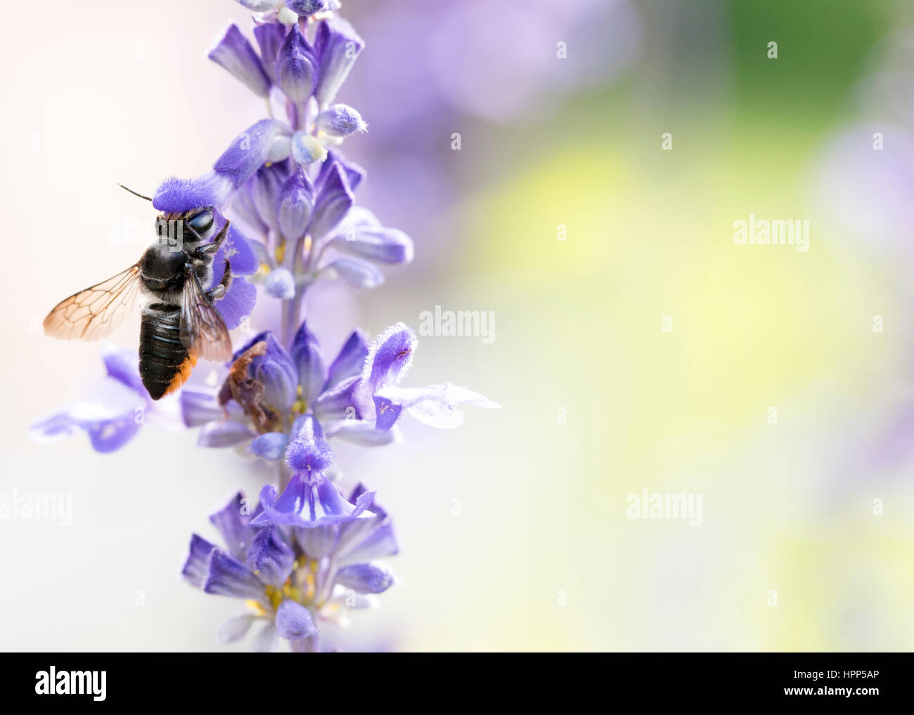 Feuille d'Australiens indigènes Cutter Bee - pollinisateur Photo Stock