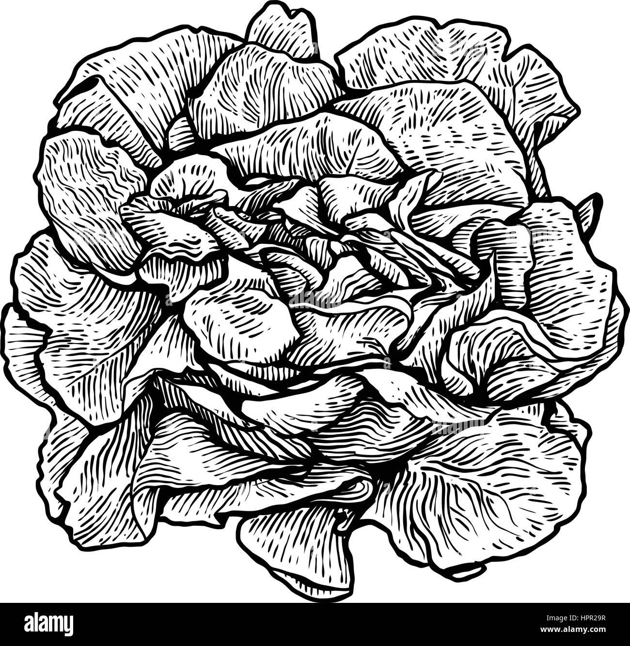 Salade De Laitue Illustration Dessin Gravure Dessin Au
