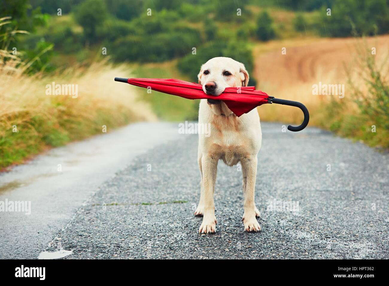 Chien obéissant à des mauvais jours. Adorable labrador retriever est maintenant parapluie rouge dans la Photo Stock