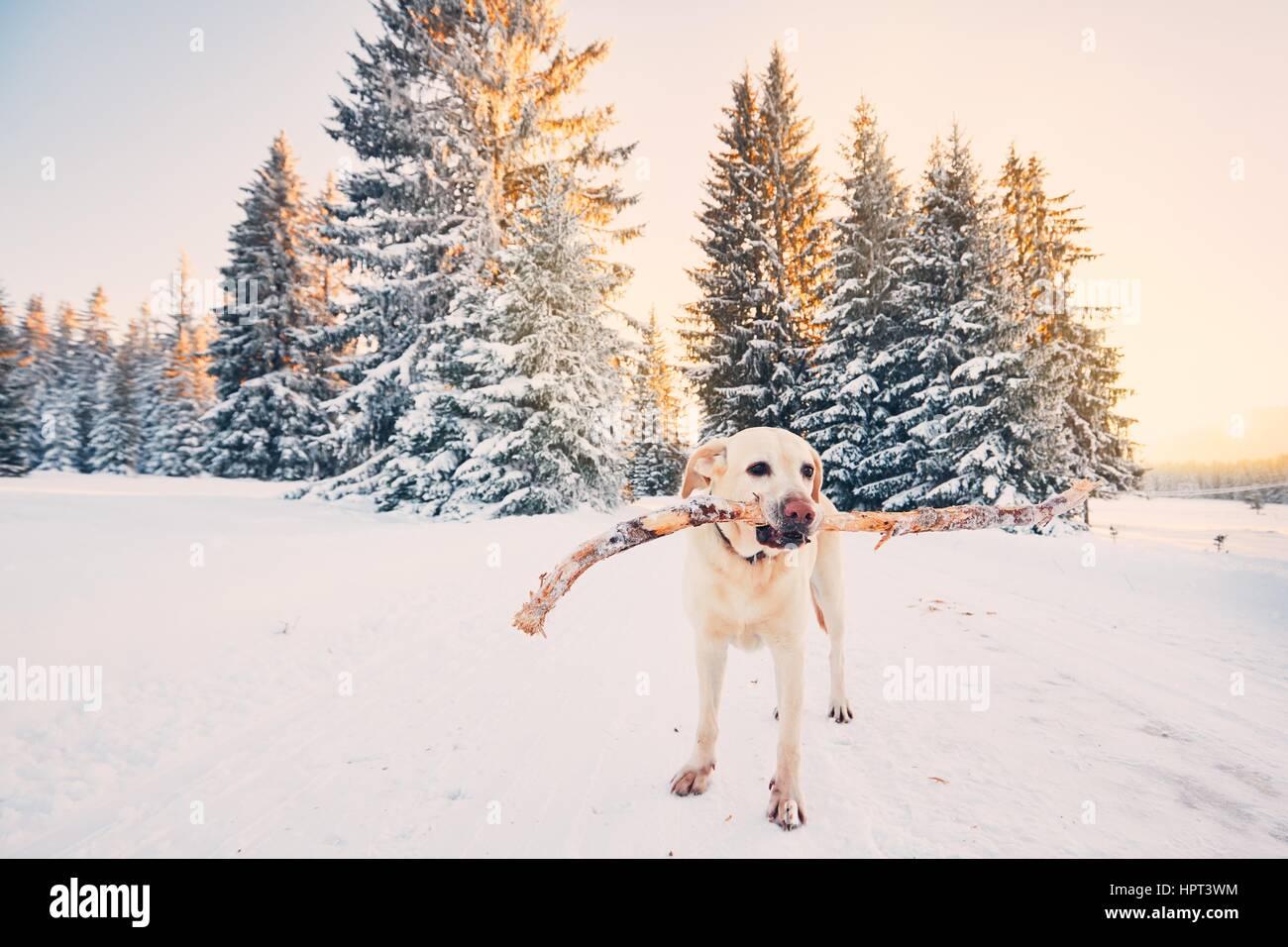 Chien en hiver la nature. Labrador Retriever jaune marche avec bâton dans la bouche pendant le coucher du soleil Photo Stock
