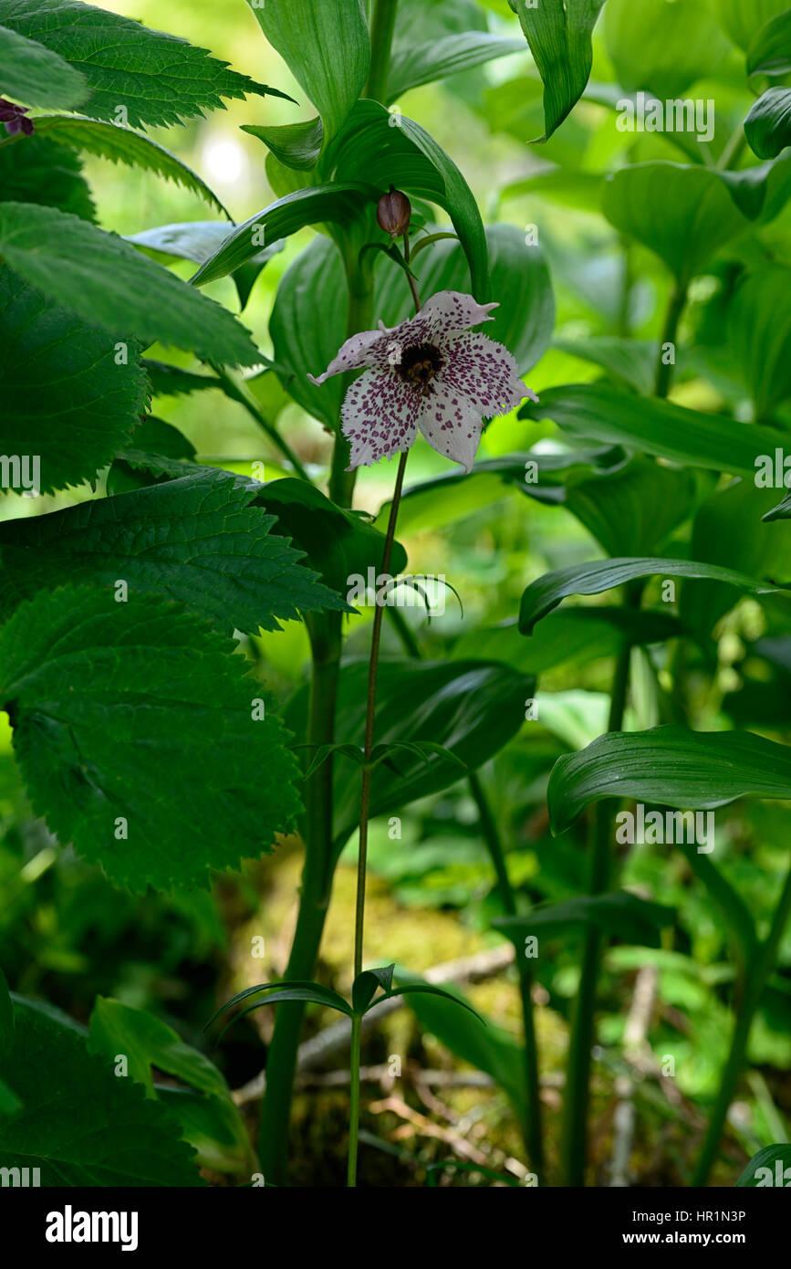 Nomocharis Pardanthina Rose Tachete Fleur Fleurs Plantes Bois