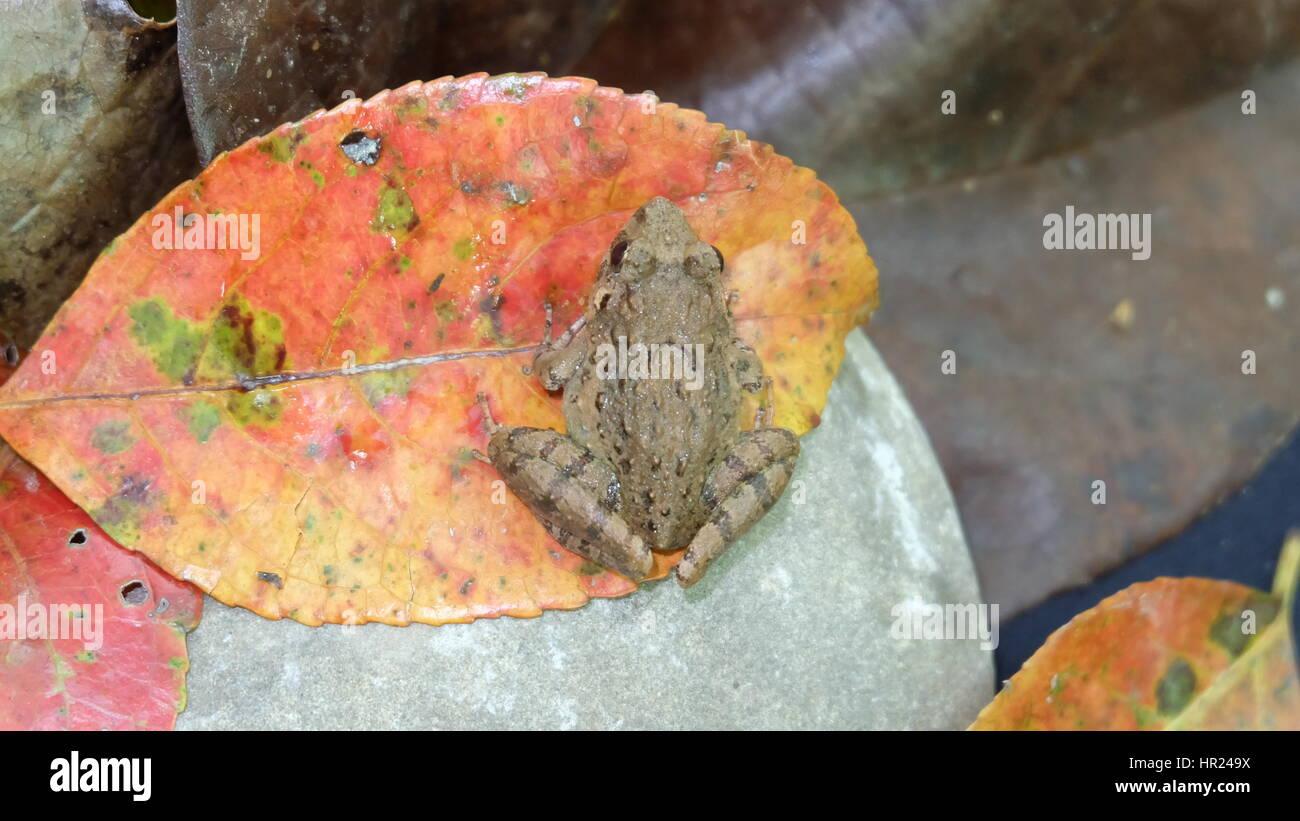 Petite grenouille tropical sur une grande feuille d'orange Photo Stock