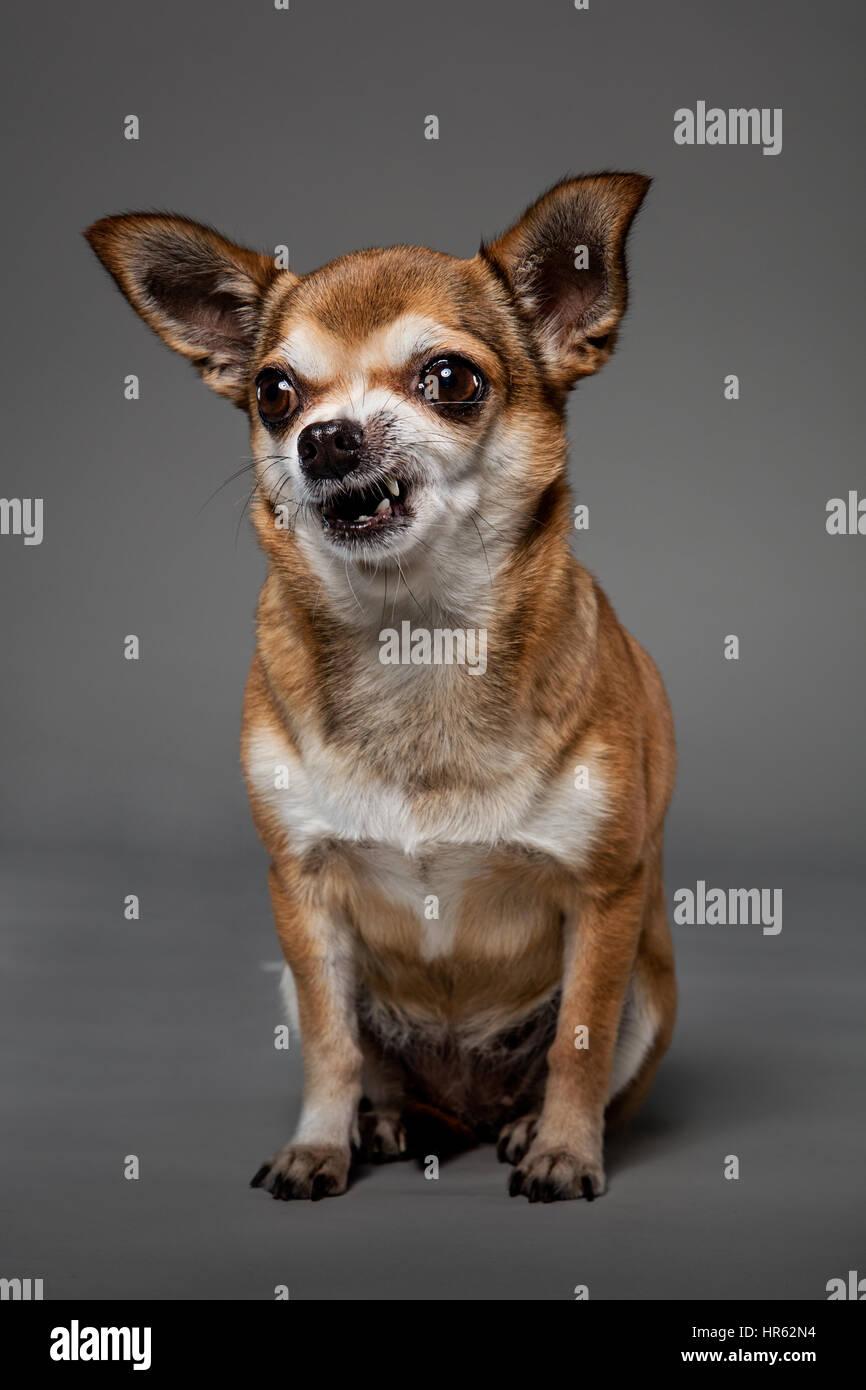 Portrait d'un chihuahua de couleur fauve et assis à la recherche hors-champ en riant. Banque D'Images