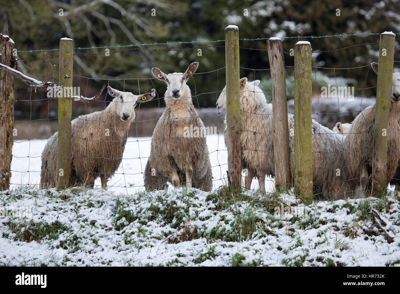 Welsh Speed datant moutons