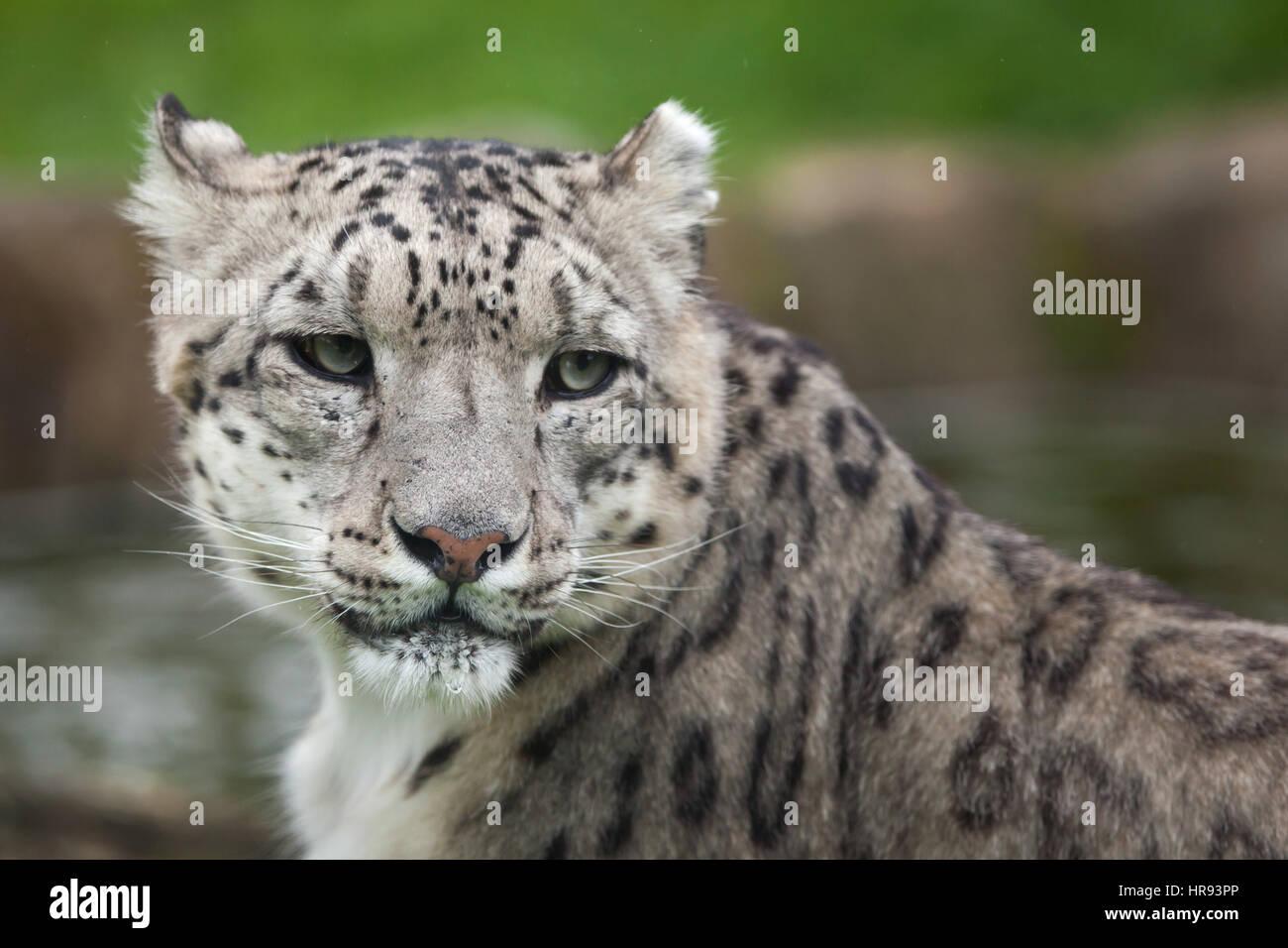Snow Leopard (Panthera uncia). Des animaux de la faune. Banque D'Images