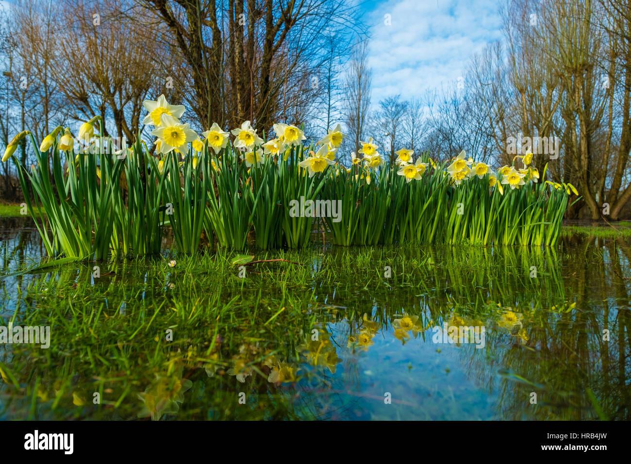 Aberystwyth, Pays de Galles, Royaume-Uni. 1er mars, 2017. Météo France: le jaune vif et blanc jonquilles, Photo Stock