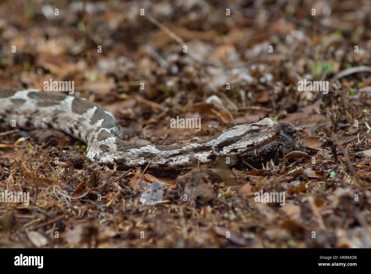 Brun Gris serpent glissant dans la forêt. scène ormanda kahverengi gri yilan Banque D'Images