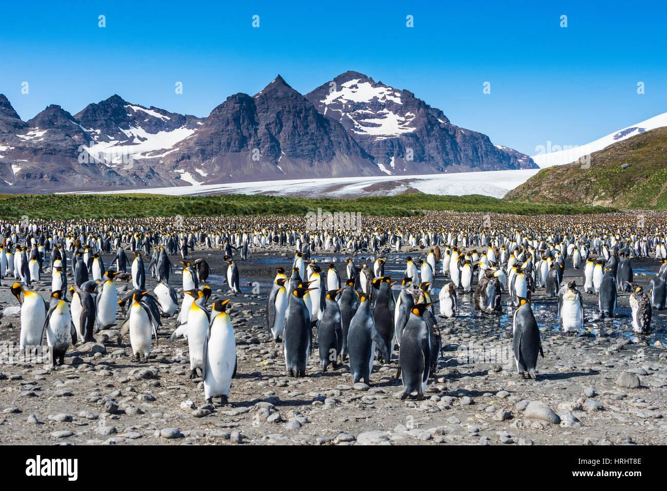 Le roi géant penguin (Aptenodytes patagonicus) colonie, la plaine de Salisbury, la Géorgie du Sud, l'Antarctique, régions polaires Banque D'Images