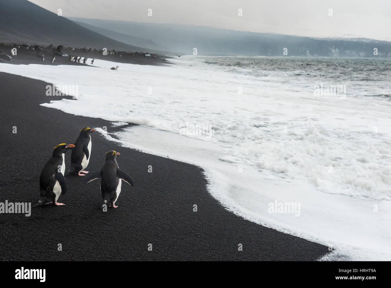 Le Sud Rockhopper Penguin group (Eudyptes chrysocome), Saunders Island, îles Sandwich du Sud, l'Antarctique, Photo Stock
