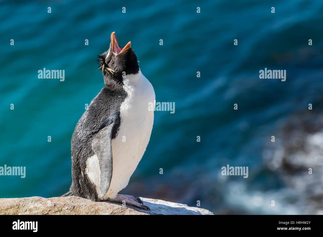Le sud de l'Adultes Rockhopper Penguin (Eudyptes chrysocome) à colonie de reproduction sur l'Île Photo Stock
