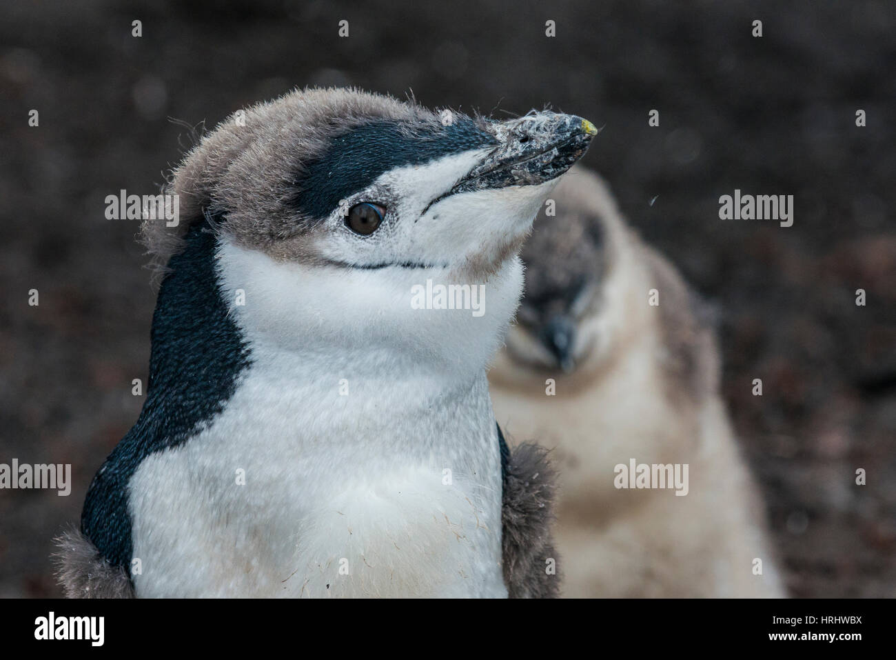 Jugulaire penguin chick noire sur une plage volcanique, l'Île Saunders, îles Sandwich du Sud, l'Antarctique Photo Stock
