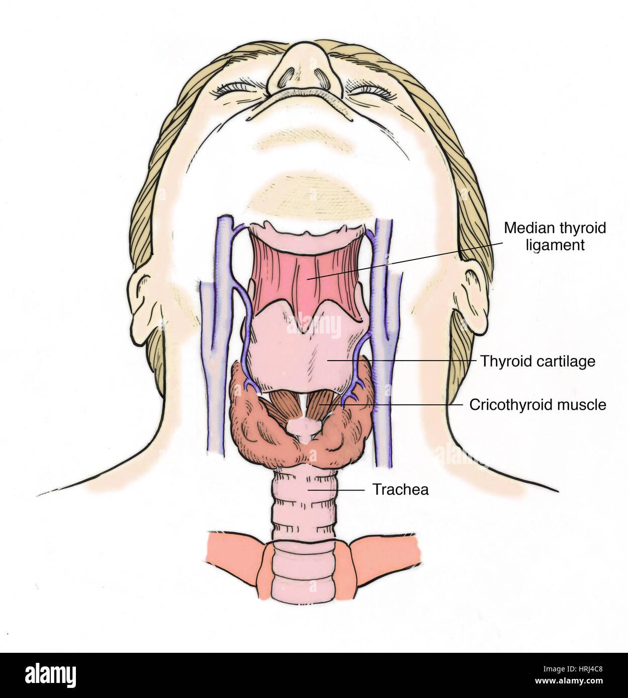 Anatomie Gorge illustration de l'anatomie de la gorge banque d'images, photo stock