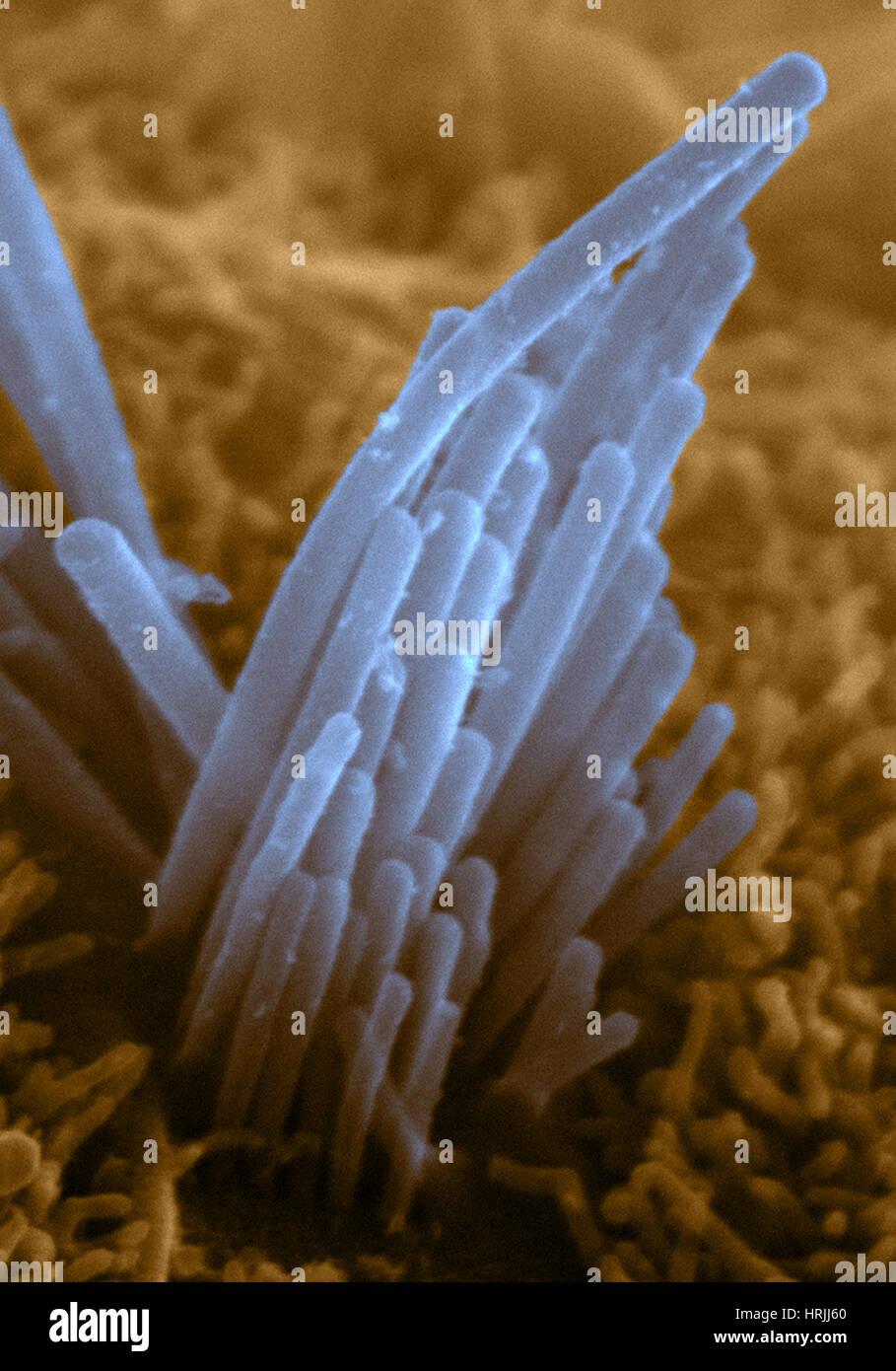 Des oreilles à partir de cellules ES de souris, SEM Photo Stock