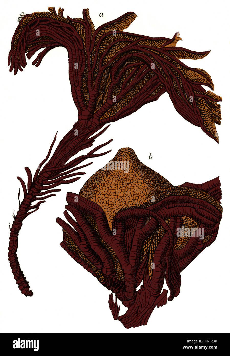 Des fossiles de crinoïdes, illustration Photo Stock