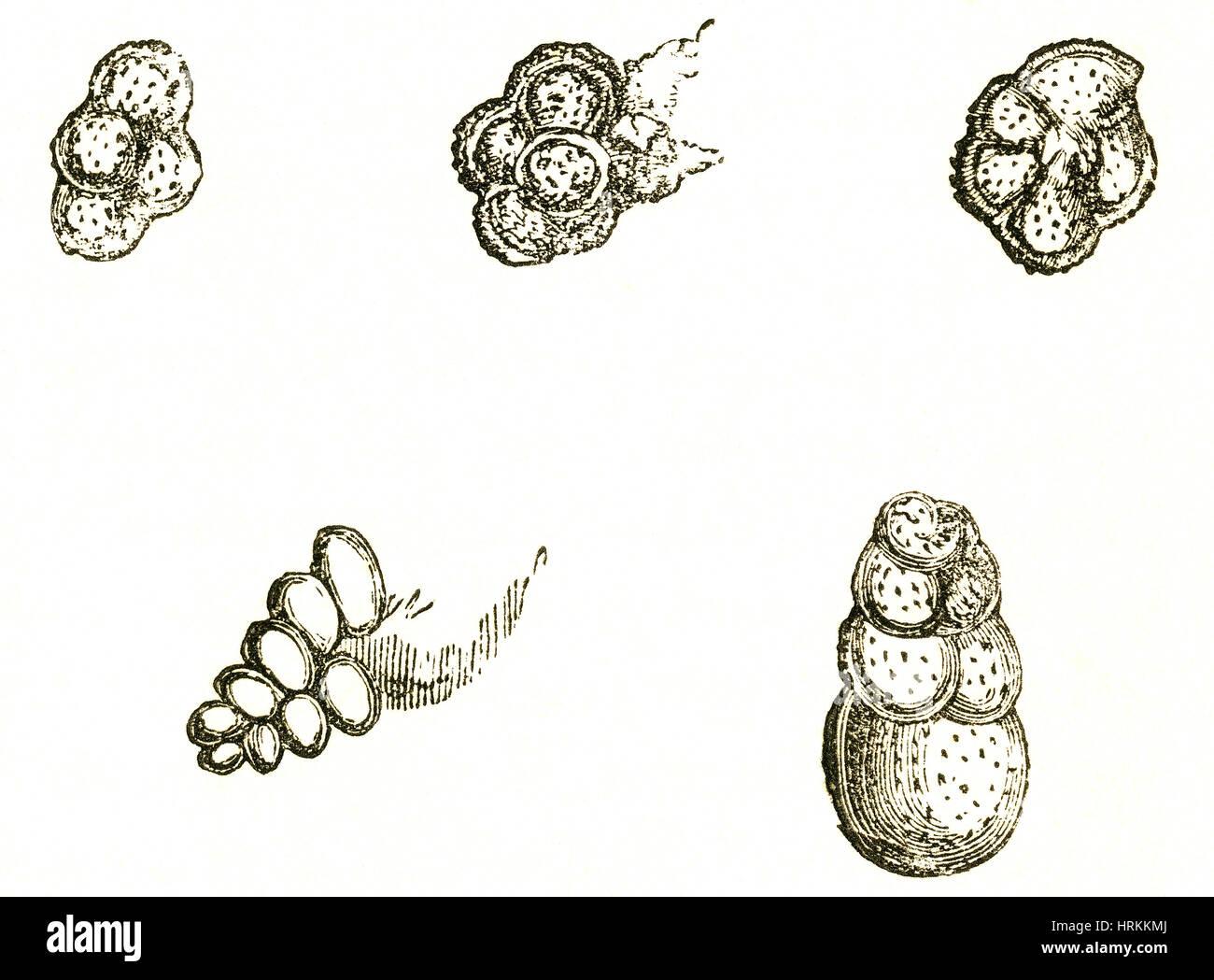 Les fossiles de foraminifères Photo Stock