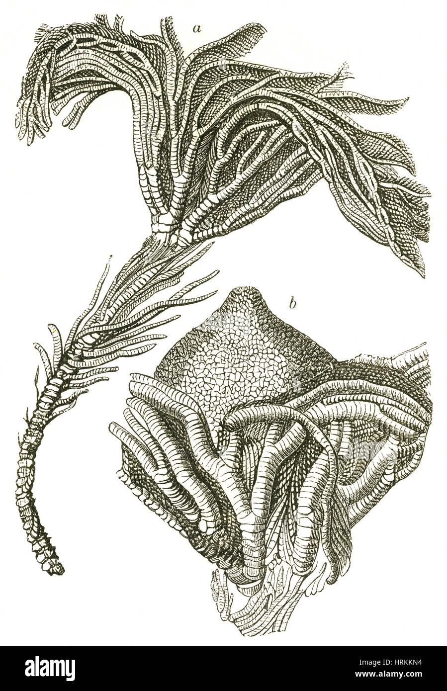 Crinoïdes fossiles Photo Stock