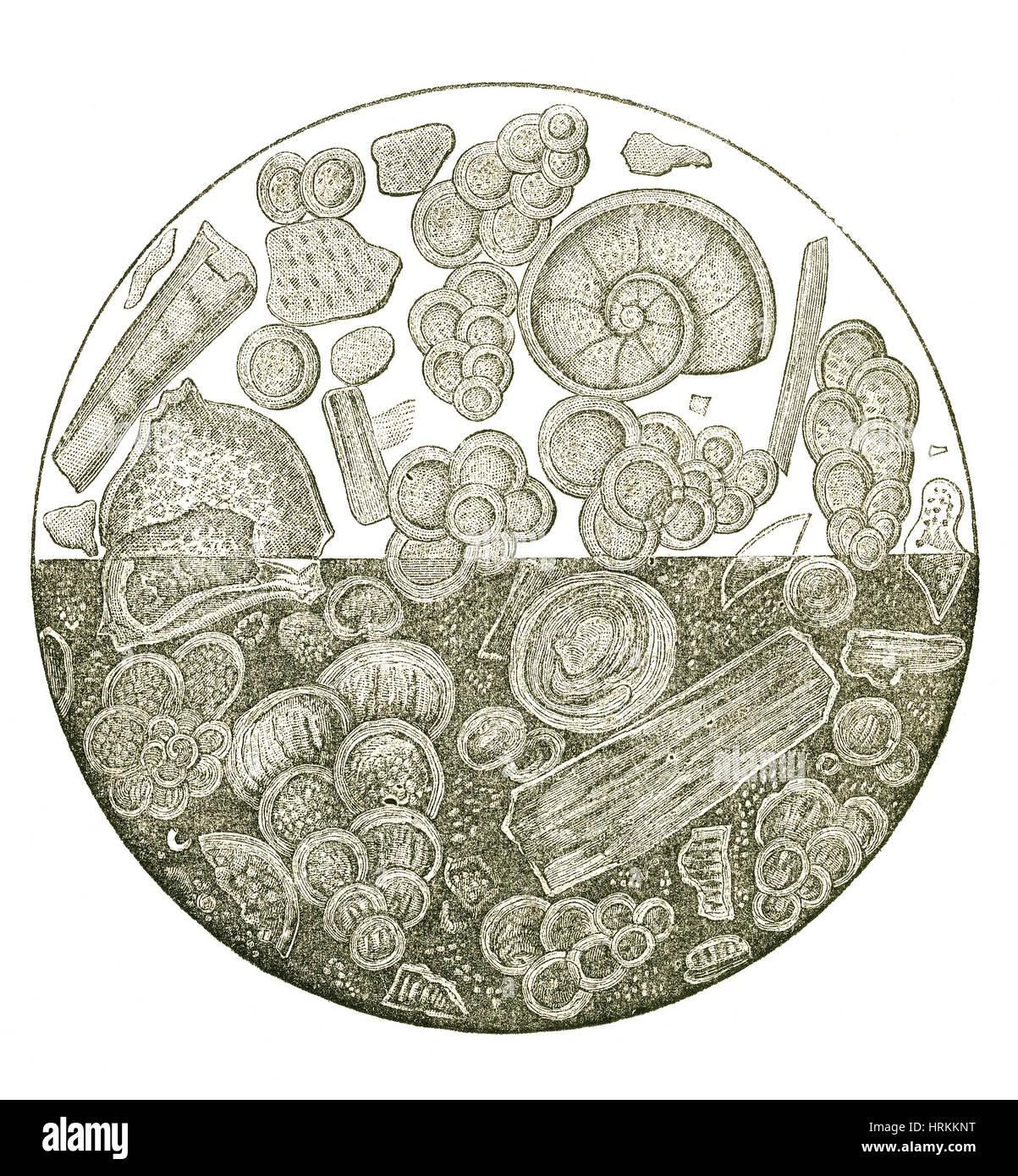 Les fossiles de la craie du Crétacé Photo Stock
