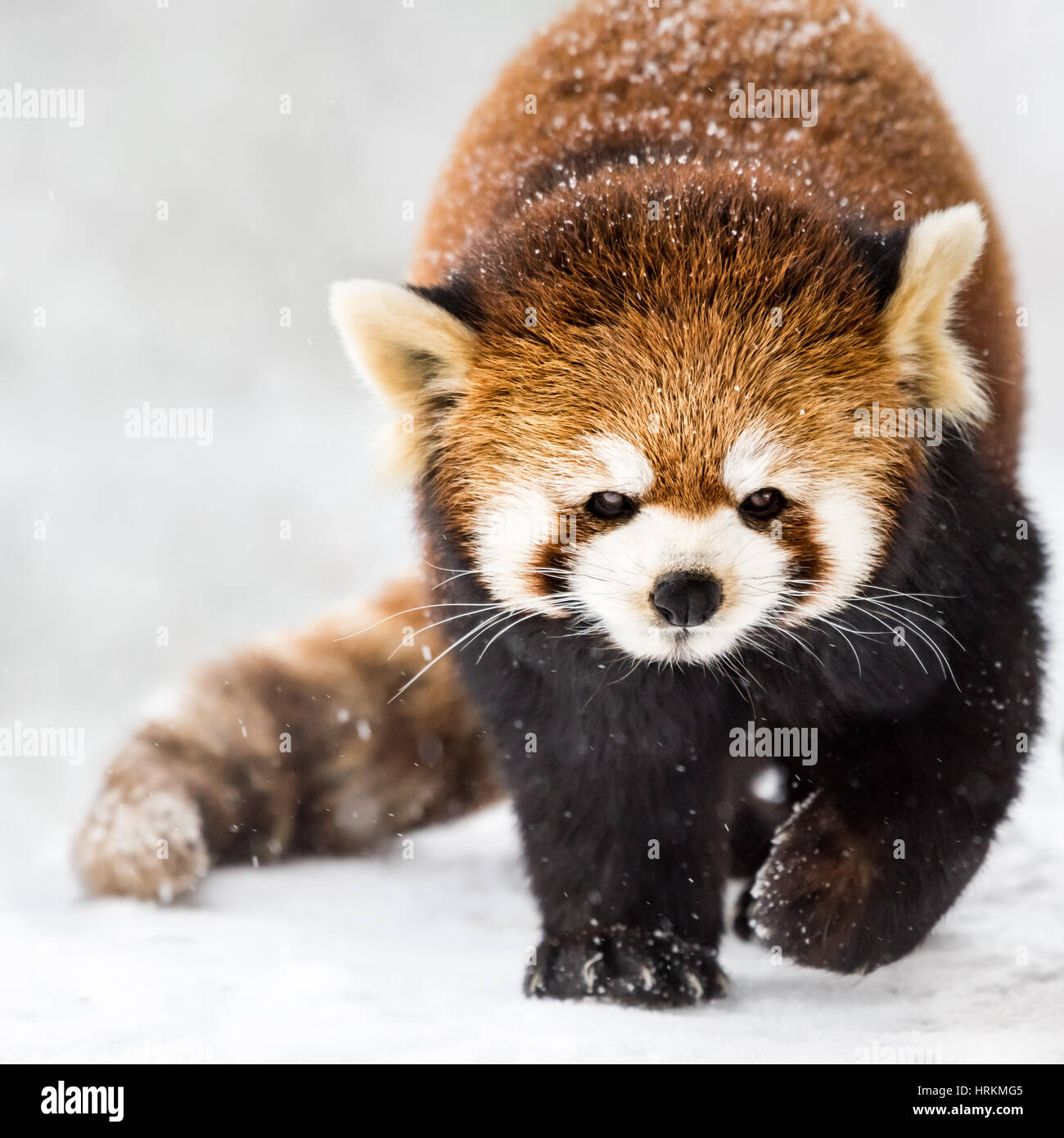 Un panda rouge marche dans la neige Photo Stock