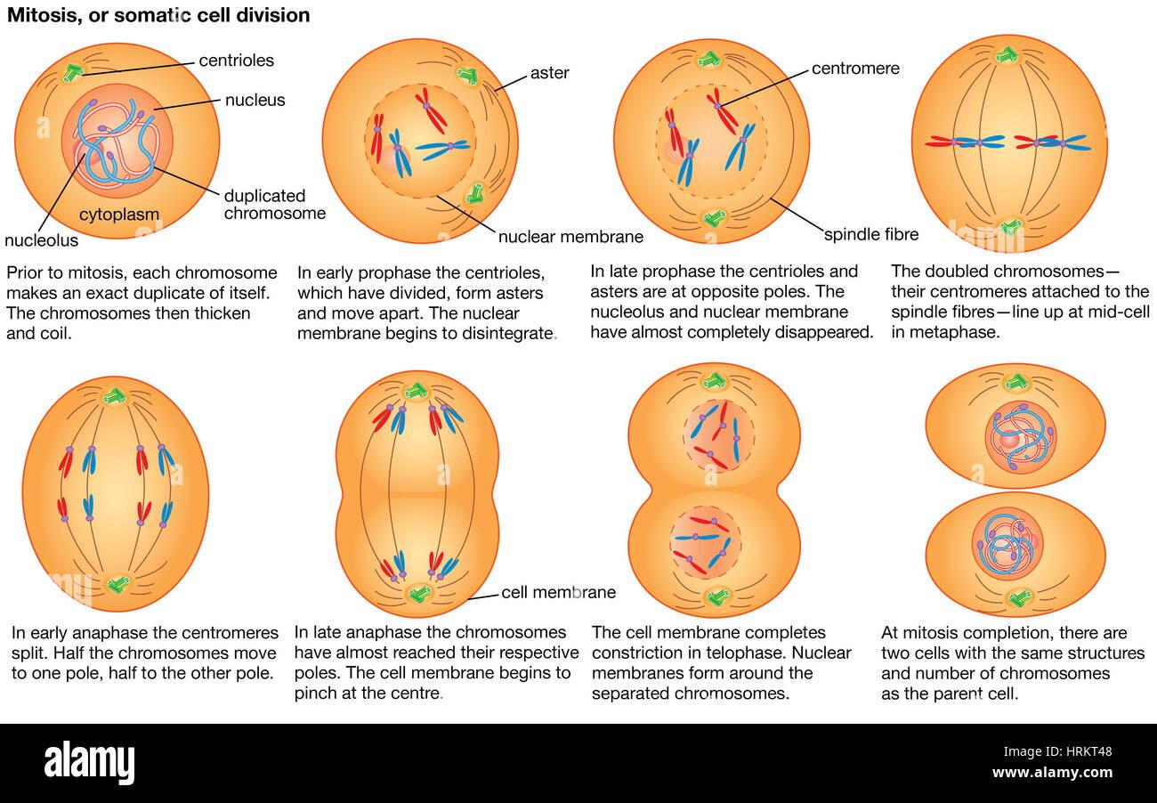 La mitose, ou division d'une cellule somatique. Photo Stock