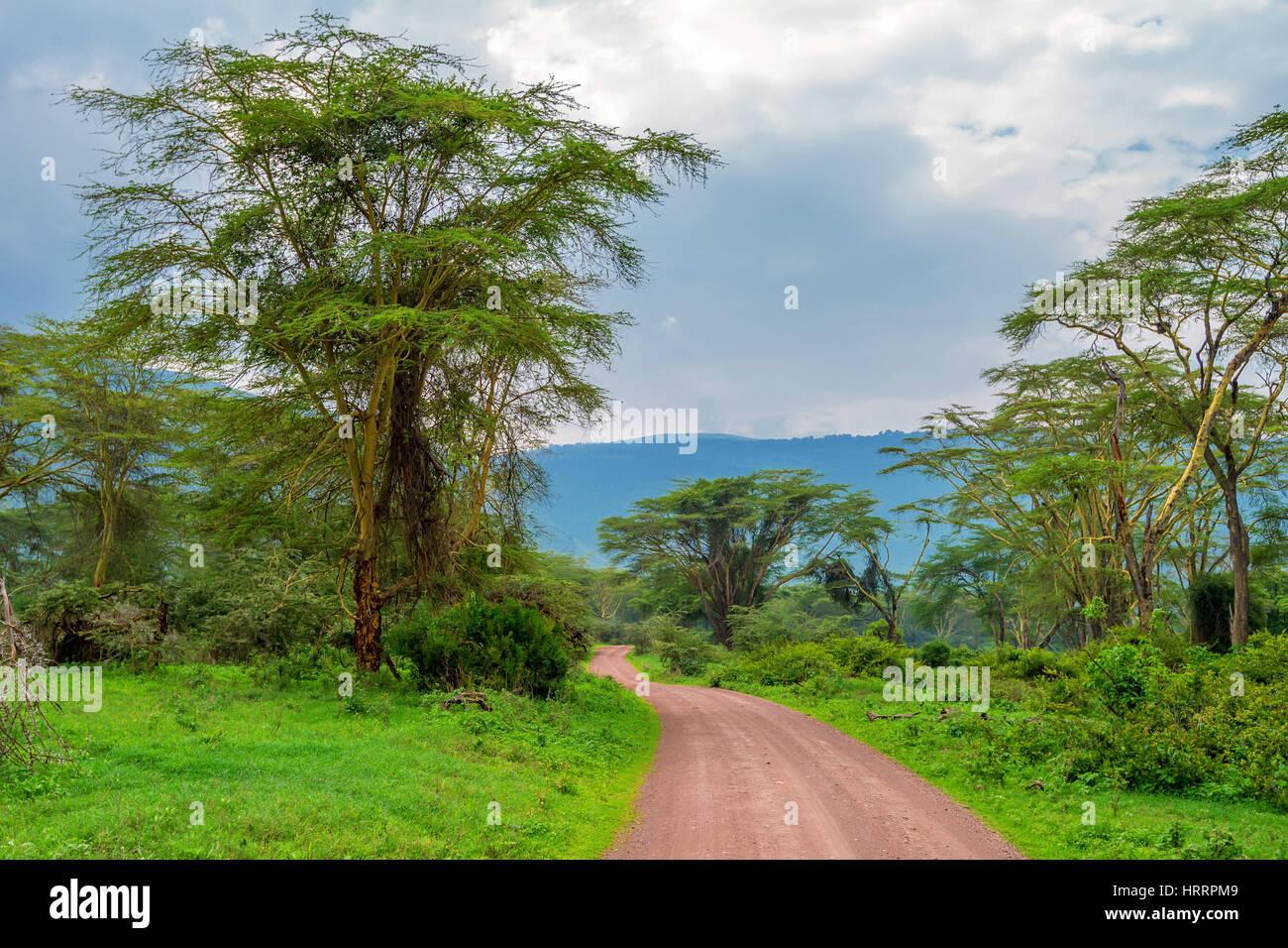 Randonnée Forêt africaine avec acacia et buissons luxuriants dans le parc national de Ngorongoro, en Tanzanie Photo Stock