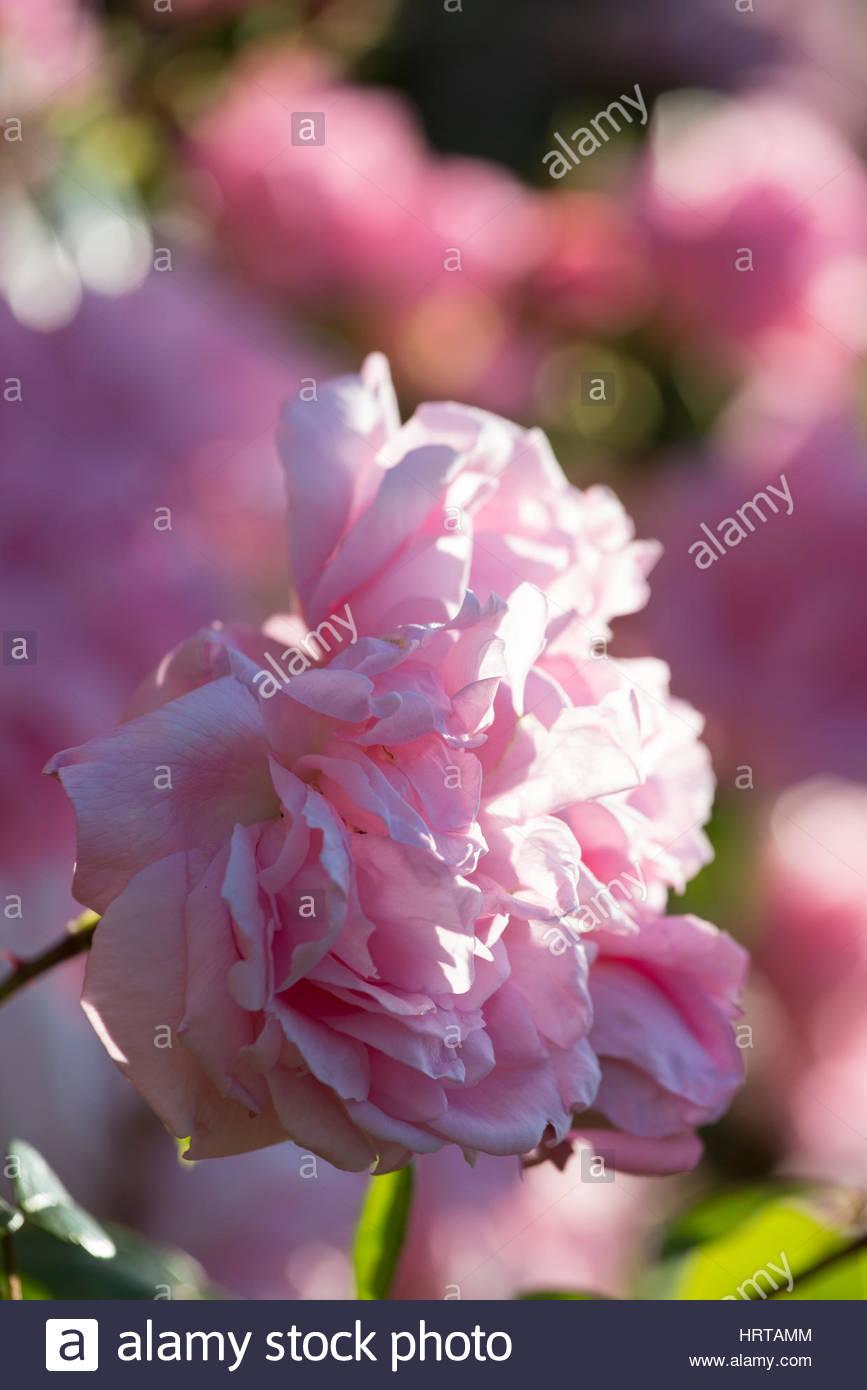 Rose 'Generous Gardener' Photo Stock