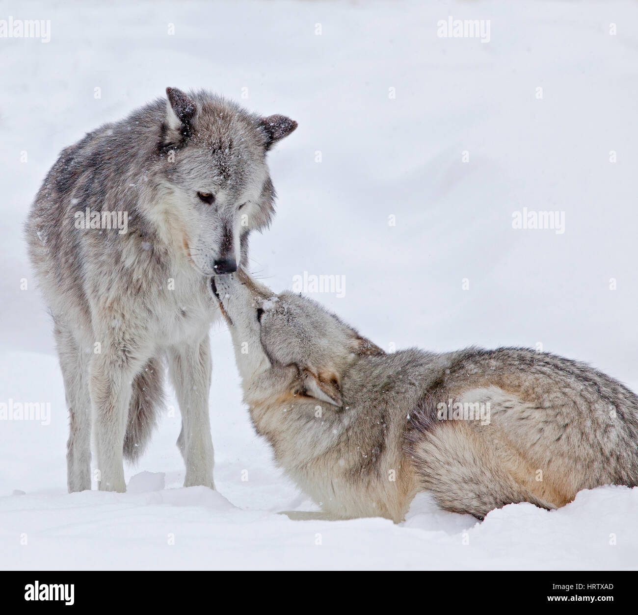 Les loups gris à West Yellowstone, Montana, USA Photo Stock