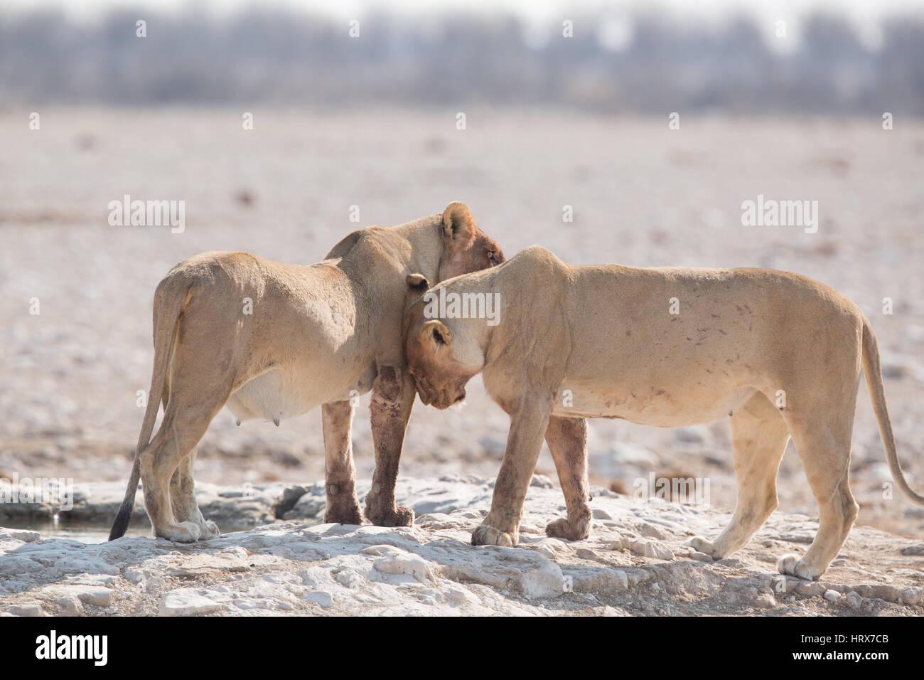Deux jeunes lions montrer de l'affection Photo Stock