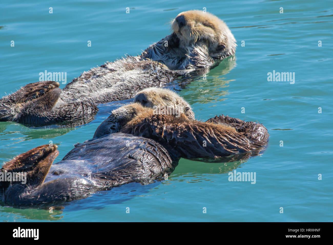 Les loutres de mer avec leurs bébés flottant dans le port de Morro Bay California USA Photo Stock