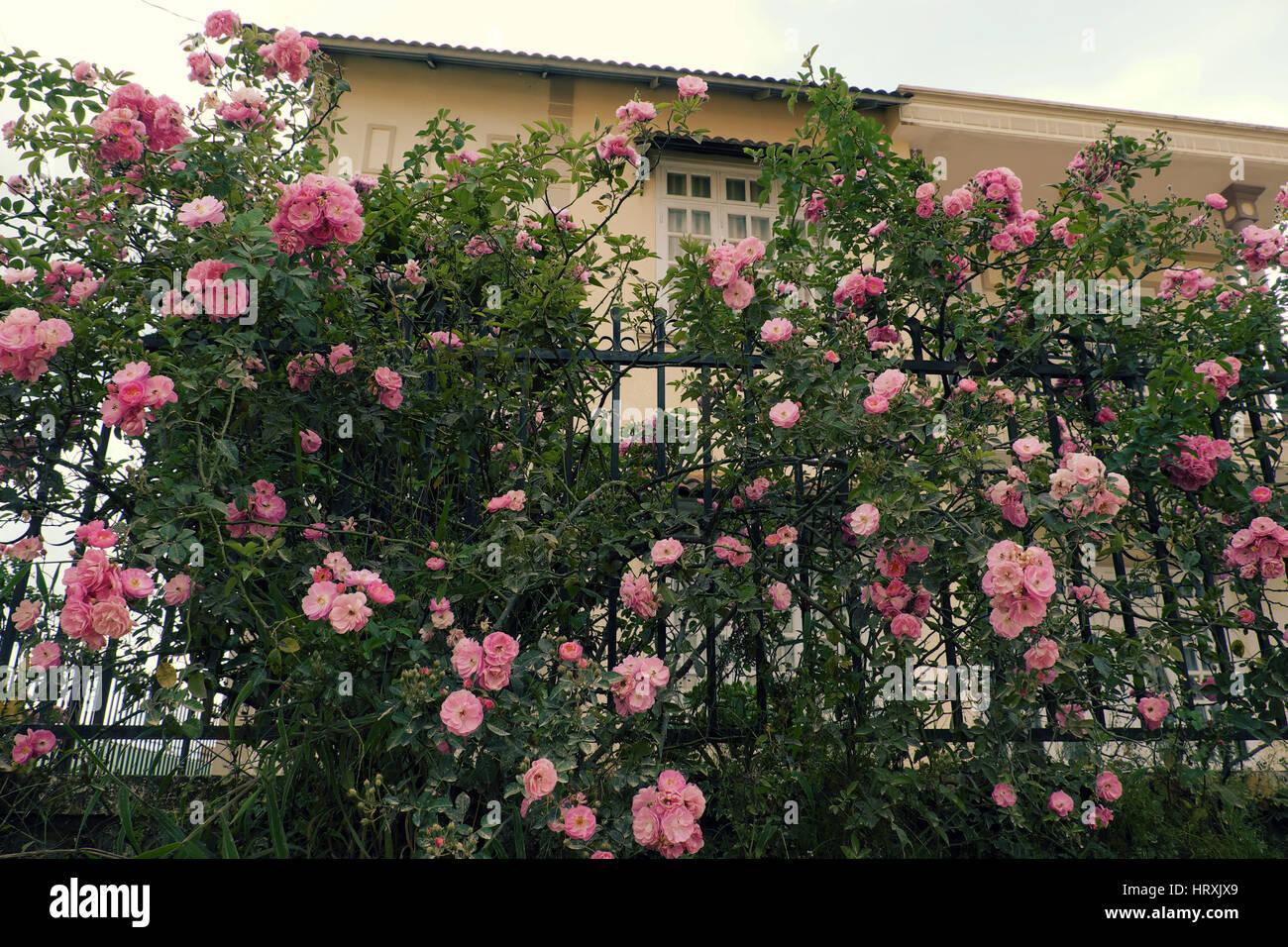 Faire Un Rosier Avec Une Rose clôture d'une magnifique maison à dalat, vietnam, rosiers