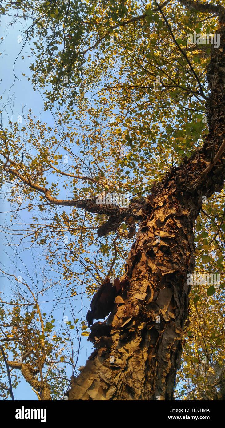 Membre de l'arbre du bouleau à papier Photo Stock