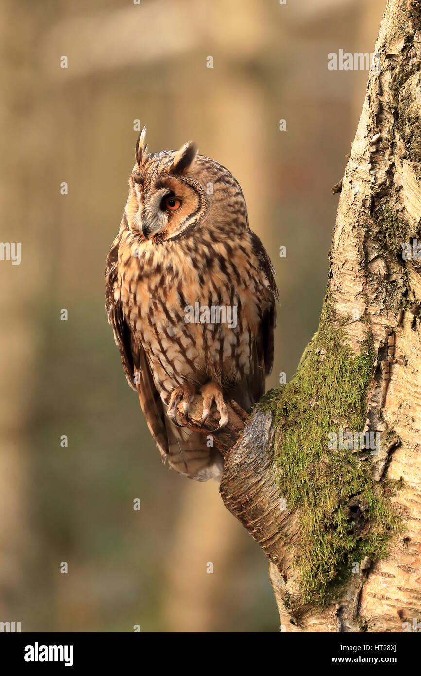 Hibou moyen long perché sur une branche d'arbre dans un bois, dans le soleil du matin, beau détail. Photo Stock